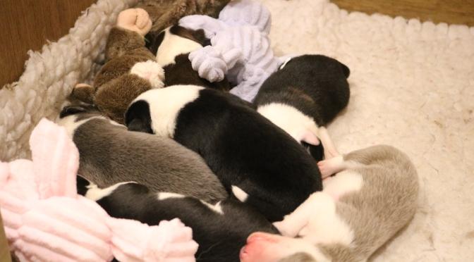 What is a Puppy Farmer?
