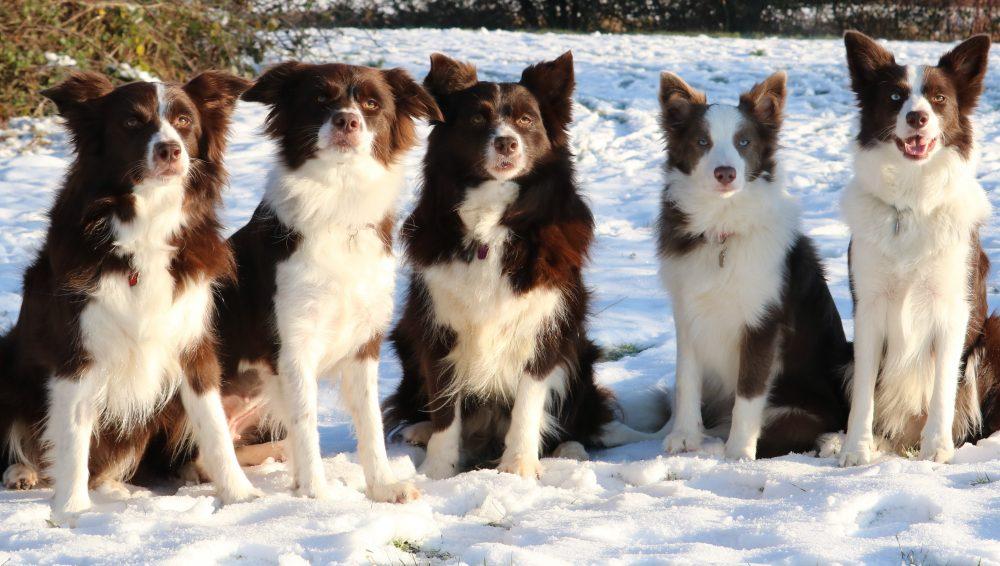 Dentbros Dogs