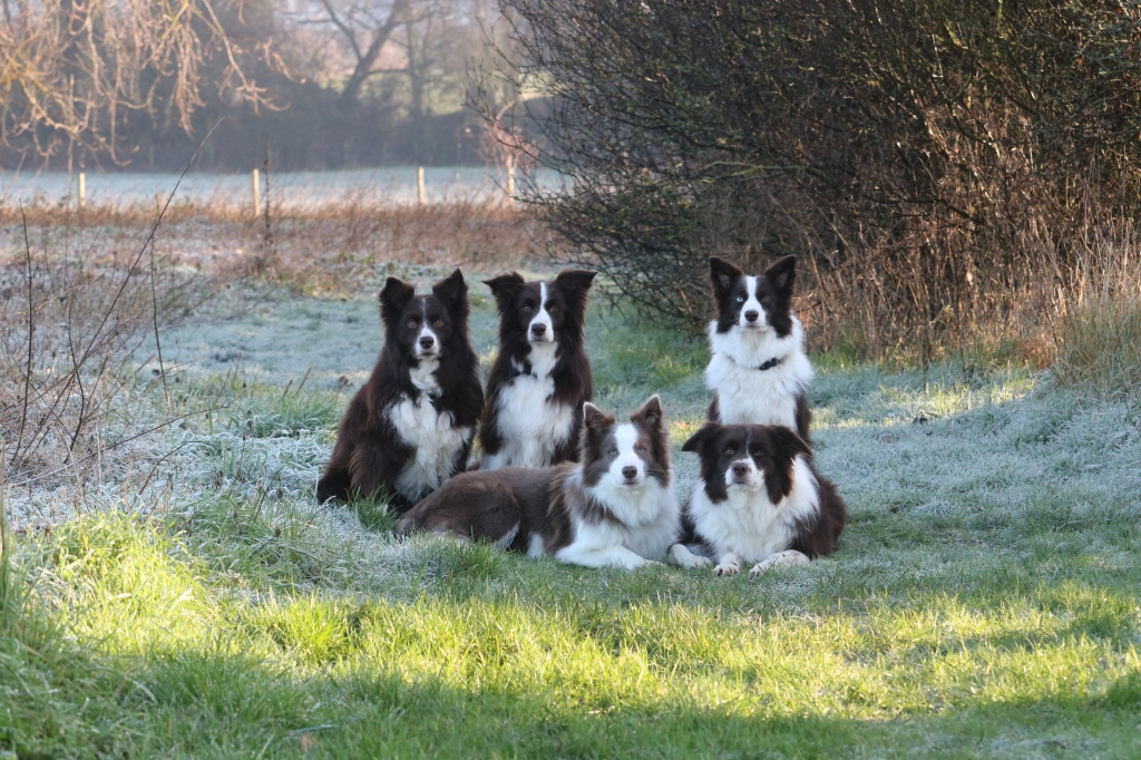 border collie myths