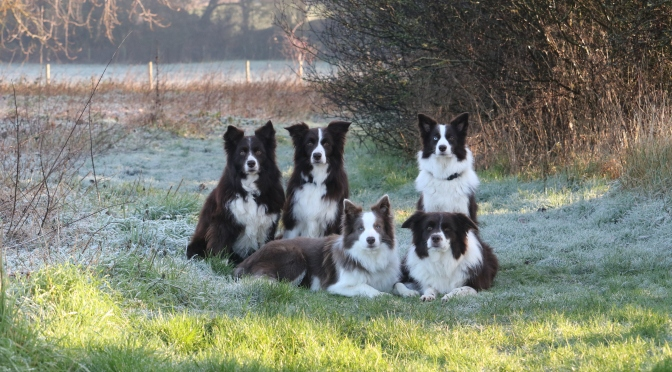 5 Myths about Border Collies