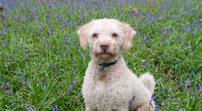 Spanish Water Dog: Interview with an owner