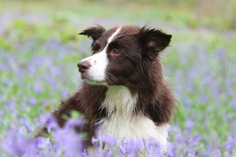 bluebells dogs
