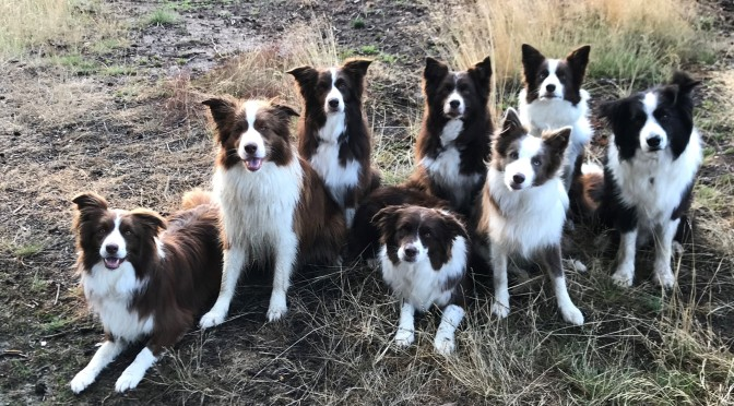 Challenge accepted! A walk with 8 Border Collies