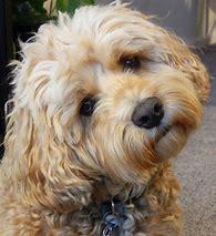 designer dog breed