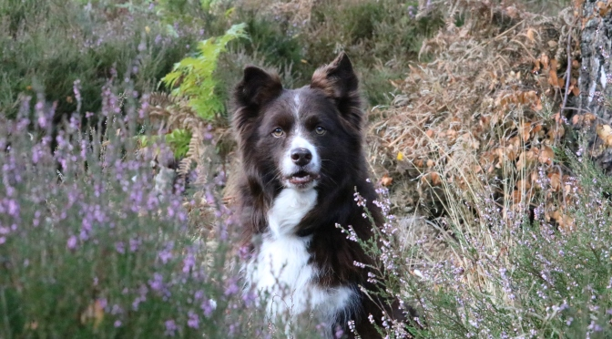 Border Collie: Interview with an owner