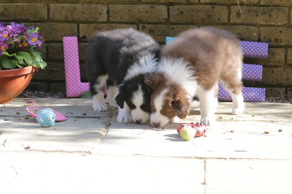 Border Collie puppies almost ready to go! Is this the age when they are the most adorable?  I'll let you judge..