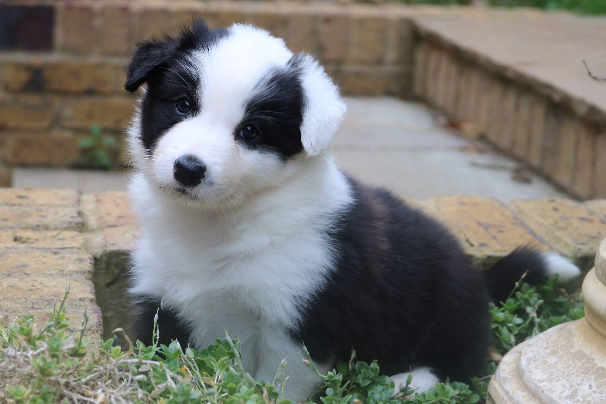 puppy buying