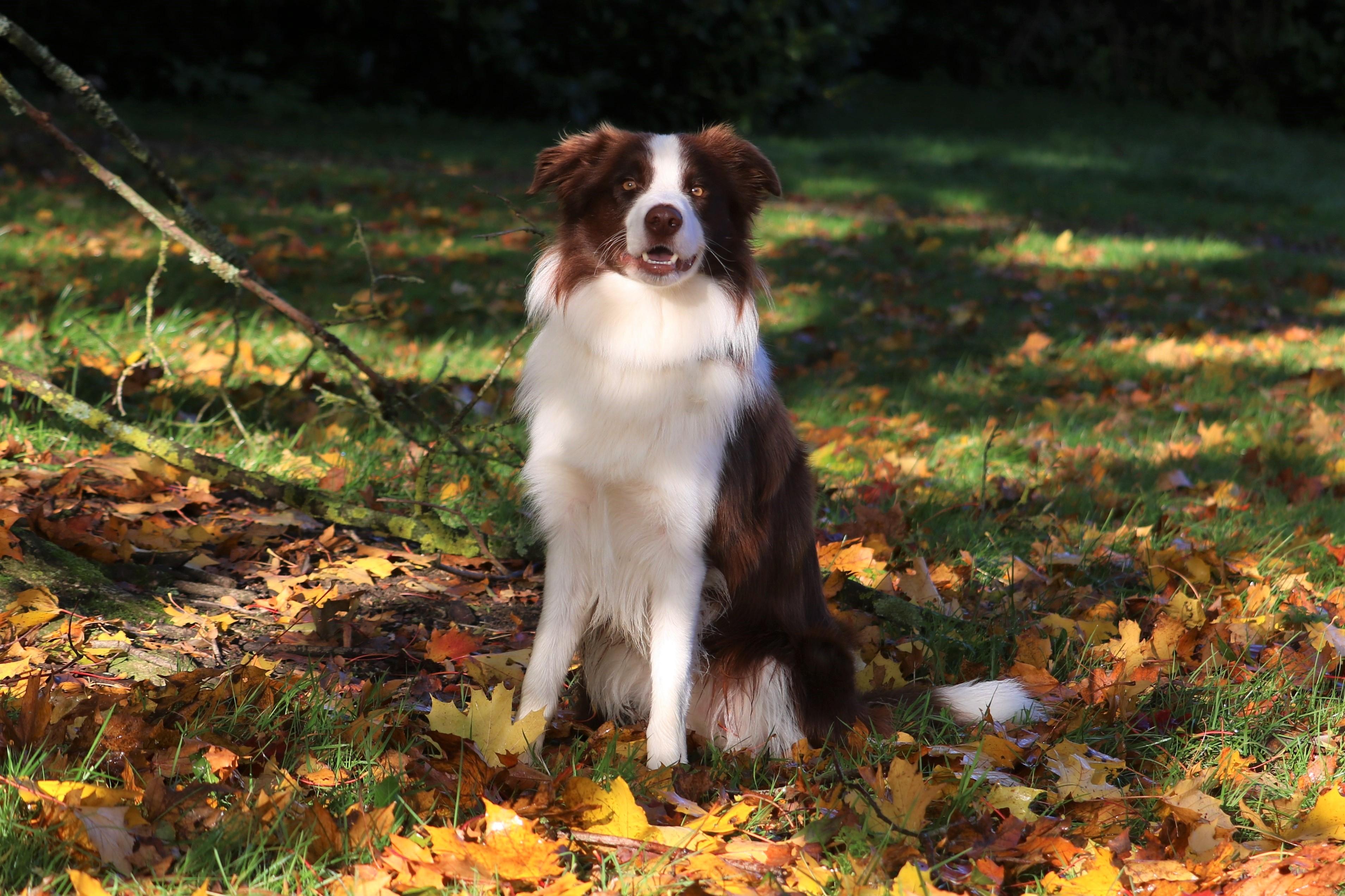 border collie stud dog