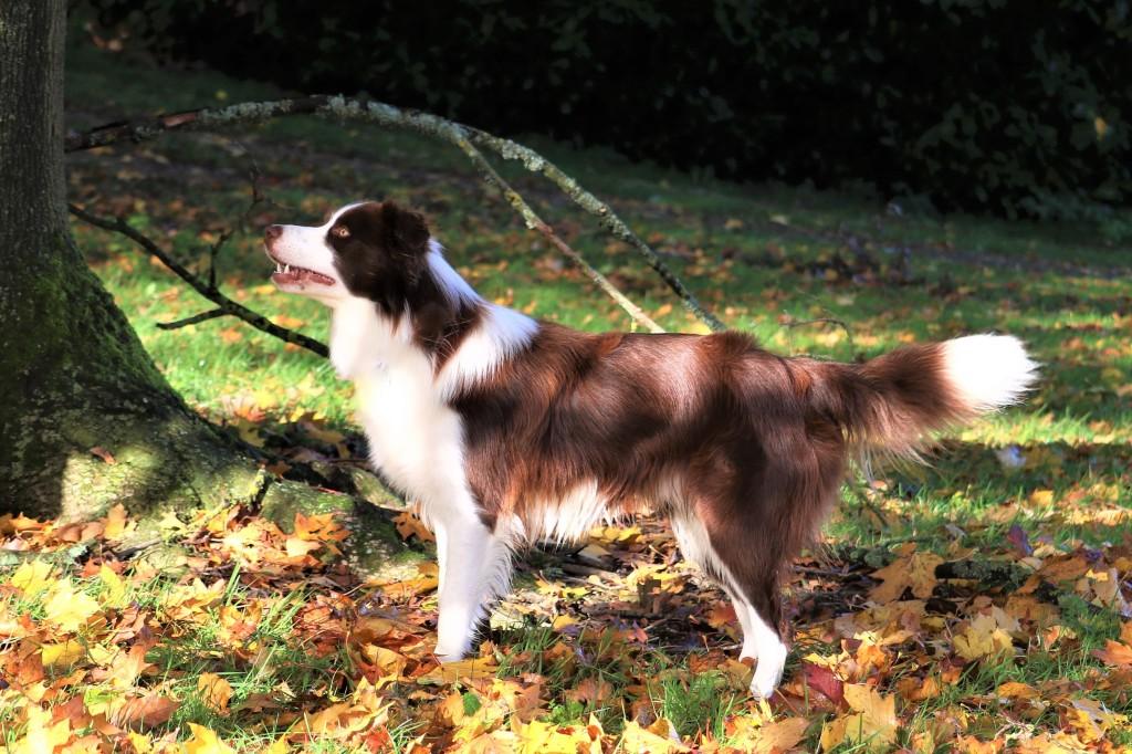 Border Colie stud dog