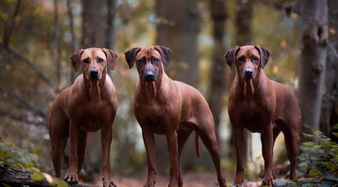 Rhodesian Ridgeback: Interview with an Owner