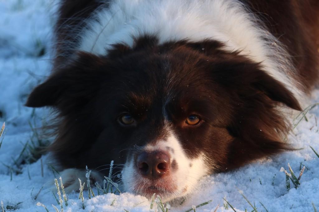 neutering dog